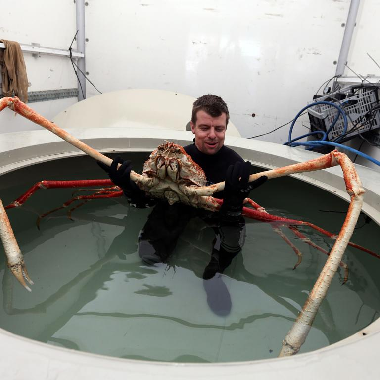 Giant Crab With 9ft Claws Arrives In Blackpool Picture