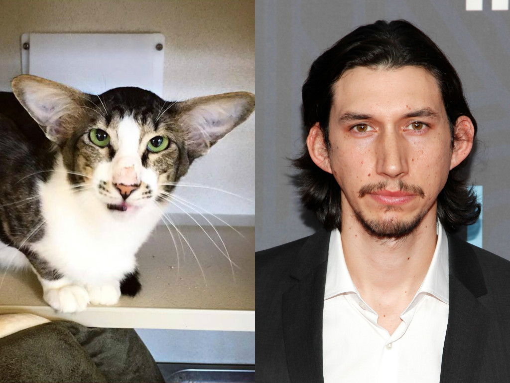 animals famous celebrities cat celebrity animal alike adam driver reese celeb dog witherspoon why freakily trump donald totally cats looking