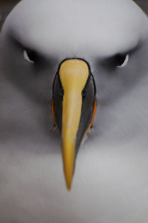 This picture is so beautiful we almost can't believe it's not CGI. Anyway, Southern Buller's albatrosses return to the same nests near New Zealand every year. The males arrive first and have to wait for their mates to show up. They can date for years and even have special courtship dances.