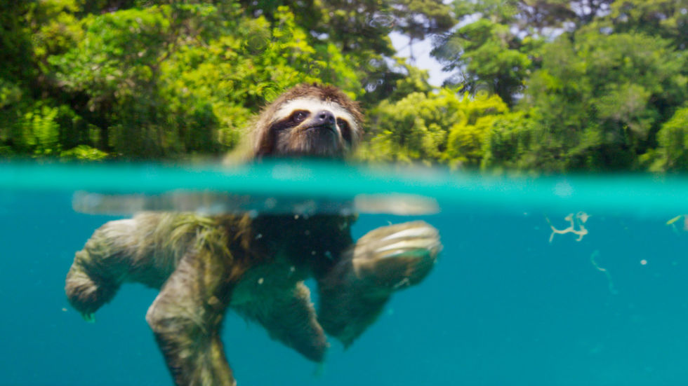 Aww, right? The pygmy sloth is only found on the tiny island of Escudo de Veraguas in Panama. This one's not just going for a dip, but on the search for a mate.
