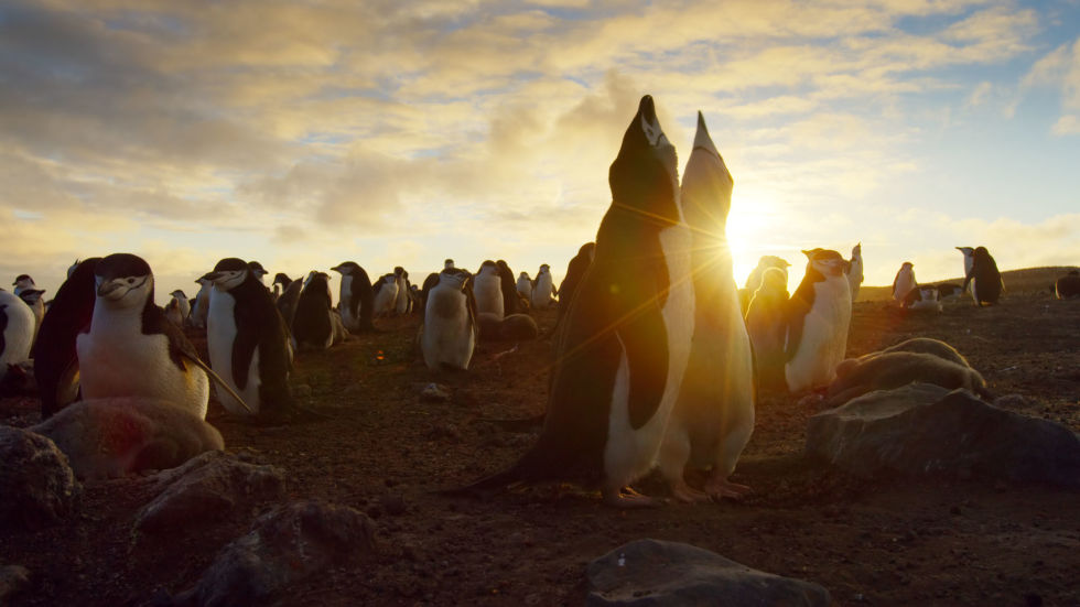 Just a gorgeous photograph of chinstrap penguins courting at sunset. What more do you need?