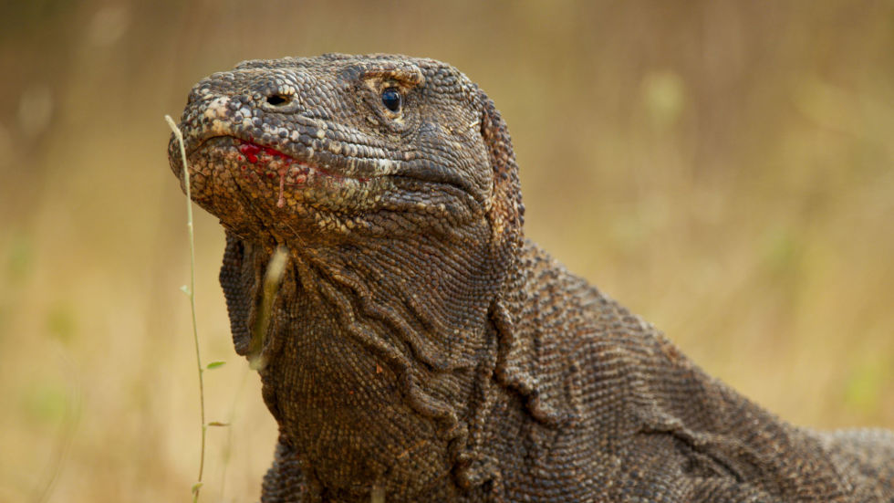 Get ready to realise how fierce Komodo dragons are – females only come into season once a year, and only the biggest, bossest males will get to mate with her. Cue fighting.