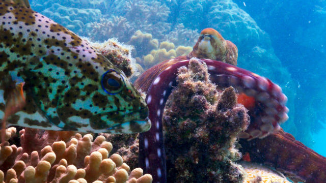 Blue Planet II, A coral grouper on the Great Barrier Reef in Northern Australia